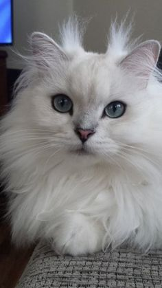 Adorable Fluffy White Cat