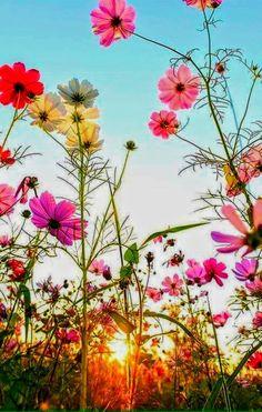 de flores Cosmea - das Schmuckkörbchen, bunt leuchtend in der Morgensonne Cosmea - the jewelry basket, shining brightly in the morning sun Flower Backgrounds, Flower Wallpaper, Nature Wallpaper, Beautiful Flowers Garden, Pretty Flowers, Beautiful Gardens, Colorful Flowers, Small Flowers, Cosmos Flowers