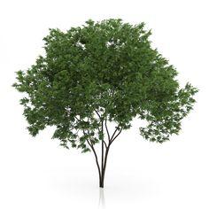 Buy Elderberry Tree (Sambucus nigra) by CGAxis on model of elderberry tree (sambucus nigra) with a height of Available formats: