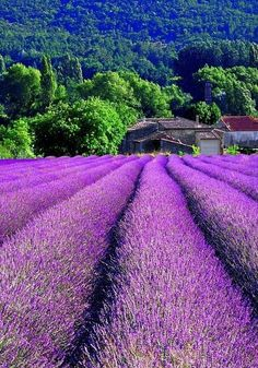Lavender Field, Provence, France.  Go to www.YourTravelVideos.com or just click on photo for home videos and much more on sites like this.