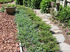 Azulzinha (Nome Popular)  Evolvulus Glomeratus (Nome Científico) Caminho composto por Azulzinha e Érica