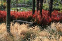 Autumn grasses: looks like Mexican feather grass and Japanese blood grass?