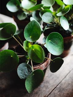 Chinese Money Plant, or Pancake Plant (Pilea peperomioides) (watermelon plant pot)