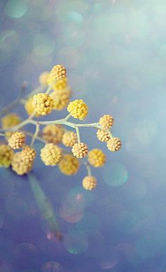 Hope Everyone Had A Nice Holiday Weekend Tonight And Wednesday, Let's Do Yellow And Blue. Flowers Nature, Love Flowers, Beautiful Flowers, Yellow Flowers, Mellow Yellow, Blue Yellow, Photo Deco, Bokeh Photography, Seed Pods