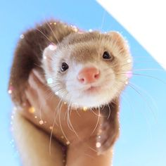 "283 Likes, 8 Comments - れ な (@cotorin_) on Instagram: ""⋆ ⋆ 明日からまた1週間頑張りましょう ⋆ #ferret #ferretgram #animal #animalgram #instapet #instaanimal…"""