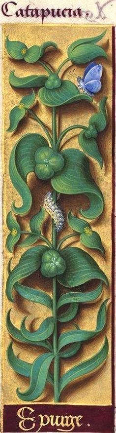 Epurge - Catapucia (Euphorbia lathyris L. = épurge, petite catapuce) -- Grandes Heures d'Anne de Bretagne, BNF, Ms Latin 9474, 1503-1508, f°93v