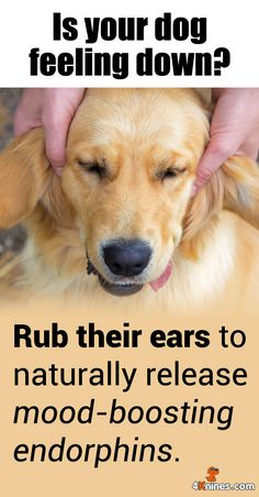 If your dog needs some extra love, try giving them a soothing ear massage. Rubbing their ears stimulates their nerves and releases endorphins, which makes them feel happier and more relaxed. Try this out! It totally works every time!