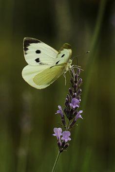 Large White (Pieris brassicae) landing on Lavender