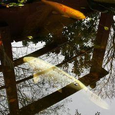 «#Koi #pond #instanature #ignature #natural_beauty #igkoi #instakoi»