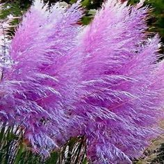 "Pink Pampas Grass (Cortaderia selloana) - You can enjoy fresh green foliage topped by long, thick dusty-pink plumes when you grow Pampas Grass seeds. These elegant ornamental grasses have ""feather dus Garden Seeds, Planting Seeds, Garden Plants, Indoor Plants, Planting Flowers, Purple Pampas Grass, Fountain Grass, Seed Germination, Grass Seed"