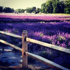 Lavender Farm in bloom...East Marion, NY...photo by Nancy Virgil
