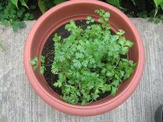 Cómo germinar zanahorias, tomates y cilantro sin semillas