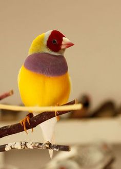 Red-Headed, Purple Breast, Yellow backed Gouldian Finch from My Bird Aviary