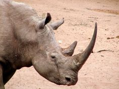 A man was caught allegedly illegally smuggling rhinoceros horns into Thailand from Africa. It is believed that he has run a notorious smuggling operation for the past decade. Sign this petition to ensure he is severely punished.