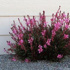 Gaura Plant, Dwarf, Garden Landscaping, Perennials, Bing Images, Blush, Landscape, Flowers, Pink