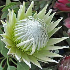 King white protea from South Africa. Even though I have several protea, I don't have one like this. Exotic Flowers, Tropical Flowers, Amazing Flowers, White Flowers, Beautiful Flowers, Australian Native Garden, Australian Native Flowers, Australian Plants, Protea Art
