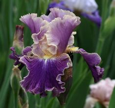 """'Lip Service' (Joseph Ghio, registered 2000) Seedling 96-153Q. TB, height 34"""" (86 cm), early, mid, late season bloom. Standards violet, paling to apricot at edge; style arms apricot pink; falls apricot with violet overlay; beards light tangerine. 94-170K, 'Stage Lights' sibling, X 'Entangled'. Bay View 2001."""