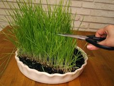 35 Fabulous Nature Wheatgrass Decor Ideas To Try In 2020 - I'd like to take a moment to address the issue of hydroponics and, why, after 10 years of growing wheatgrass in soil, I have finally given in to the i. Growing Wheat Grass, Grass Decor, Inside Garden, Garden Yard Ideas, Garden Fun, Organic Living, Happy Foods, Edible Garden, Green Life