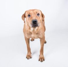 ADOPTED - Blooie - URGENT - located at Dekalb County Animal Shelter in Decatur, Georgia - 4 year old Female Retriever Mix - Blooie is a shy gal who would love a comfy home to call her own. She gets along great with other dogs and enjoys resting on comfy beds. It is likely that she spent a lot of time on her own, but we are confident that after some time she will warm up to her people. Her adoption includes her spay, microchip, vaccinations, and more!