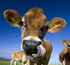 #Jersey cow beautiful cows from the beautiful island of #Jersey Channel Islands