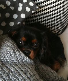 Pssst, I love to snuggle. Cavalier King Spaniel, Spaniel Dog, Spaniels, King Charles Dog, King Charles Spaniel, Cute Puppies, Cute Dogs, Baby Animals, Cute Animals