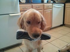 """sweet rescue story of Bran, a Golden Retriever. """"Just like most goldens, when I come home, he must find the nearest object to bring to me. If he can't find his toys, the next in line is a shoe or a remote."""""""