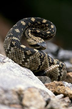 Rattlesnakes are venomous snakes categorized as the genus Crotalus. The name Crotalus is derived from Greek and means 'castanet'. Les Reptiles, Reptiles And Amphibians, Mammals, Spiders And Snakes, Poisonous Snakes, Types Of Snake, Deadly Animals, Colorful Snakes, Cute Snake