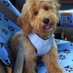 Mini golden doodle = golden retriever + mini poodle