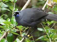 "Kokako (Callaeas cinereus wilsoni) is a rare bird which is found in the island territories of New Zealand. Kokako is also enlisted in the red list of IUCN and it is considered as highly endangered species.Kokako is also famous as ""The New Zealand Crow""."