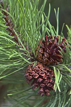 Two cones and needles from a Ponderosa pine tree.   Copyright 2014. All Rights…