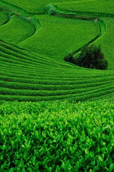 Japanese green tea plantation and terraced rice field