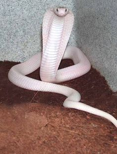 dangerous pretty little thing. Beautiful Creatures, Animals Beautiful, Rare Albino Animals, Unusual Animals, Melanistic Animals, Melanism, Cobra Snake, Cute Snake, Crocodiles