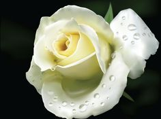 The White Rose () was a non-violent, intellectual resistance group in Nazi Germany, consisting of students from the University of Munich and…