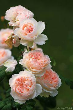 Claire Austin, David Austin Roses, Flower Backgrounds, Flower Wallpaper, Beautiful Roses, Beautiful Flowers, Astrantia, Garden Oasis, Nature