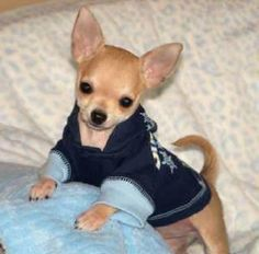 sweet Chihuahua in a blue outfit.