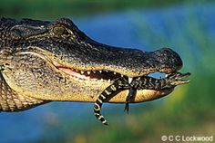 Gator with Baby
