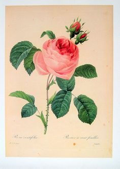 Rose Print  Rosa centifolia a cent feuilles  by mysunshinevintage
