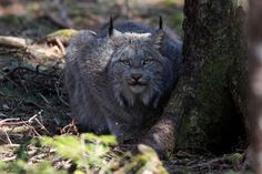 Nature Conservancy working to provide homes for large cats - Local - Cumberland News Now