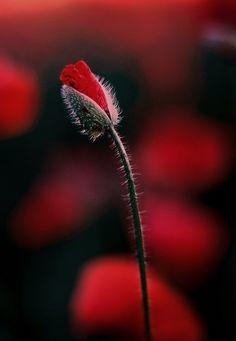 Tulip by Roman Friptuleac