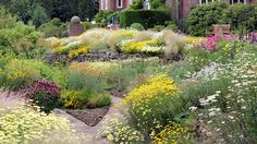 Anthemis at Winterbourne House and Garden, Birmingham