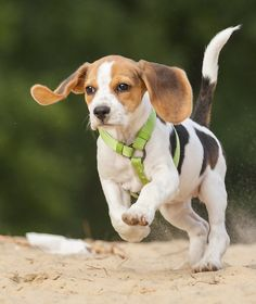 10 Cool Facts About Beagles - Dogs Tips & Advice | mom.me