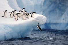 #Penguins taking a dip in chilly, Antarctic waters