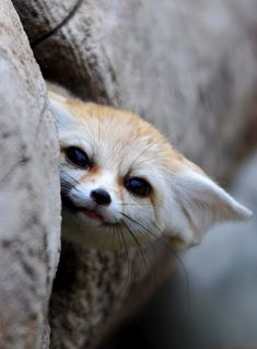 Big-Eared Fennec Foxes Appreciation (Pics) Fennec Fox Baby, Funny Kid Memes, Funny Videos, Animes To Watch, Photo Animaliere, Peek A Boo, History Memes, Cute Fox, Cute Animal Pictures
