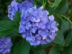 Nikko Blue Hydrangea blooms