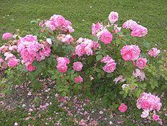 Morden Centennial Canadian Parkland rose shrub