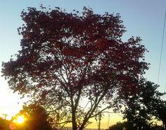 Por do sol  no formoso ipê roxo