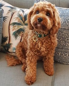 Charlie the cavoodle on hi guys! i m doing my furry little bit to help my friends who aren t as lucky as i am please give anything you can to the Cavoodle Dog, Mini Goldendoodle Puppies, Goldendoodles, Labradoodles, Mini Cockapoo, Cute Dogs And Puppies, Pet Dogs, Dog Cat, Pets
