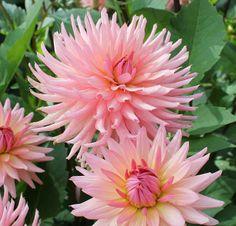 "Preference Dahlia (4-6"" bloom; 4' bush): soft peach; semi-cactus."
