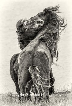 Wild horse photos for sale, wild horse fashions and photography workshops by Debra Garside. Photo tours to Sable Island Wild Horses, Mongolia, and more. Island Horse, Horse Fashion, Wild Mustangs, Horse Photos, Photography Workshops, Horse Breeds, Photos For Sale, Horse Art, Wild Horses