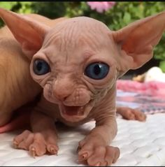 Satan - Coub - The Biggest Video Meme Platform by August Cute Cats And Kittens, I Love Cats, Crazy Cats, Kittens Cutest, Cute Funny Animals, Funny Cats, Cute Hairless Cat, Ugly Cat, Sphinx Cat